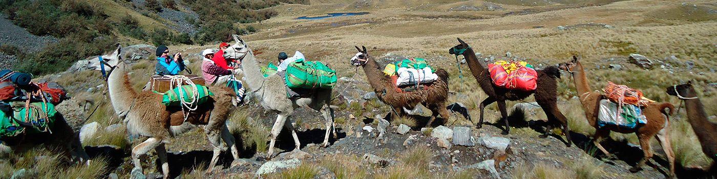 Llamas on a trek - Peru